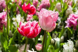 tulipe signification