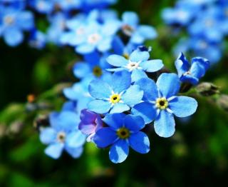 Myosotis en fleur