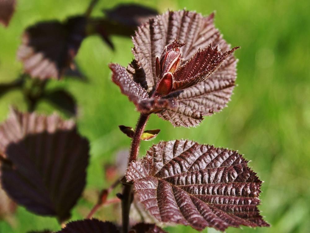 Noisetier pourpre - Corylus maxima purpurea