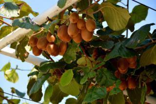 arbre a kiwi actinidia