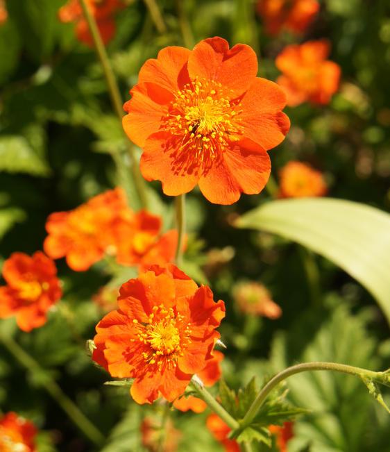 benoite fleur
