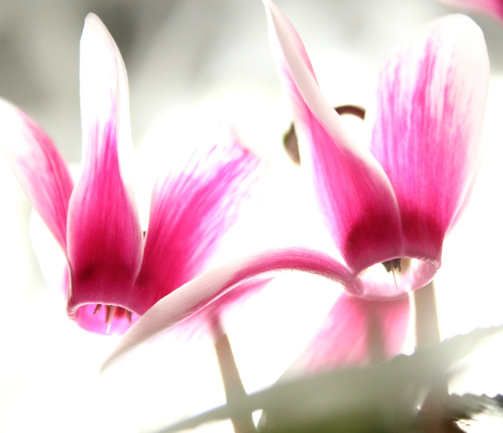 Cyclamen, a flower connected to the Virgin Mary