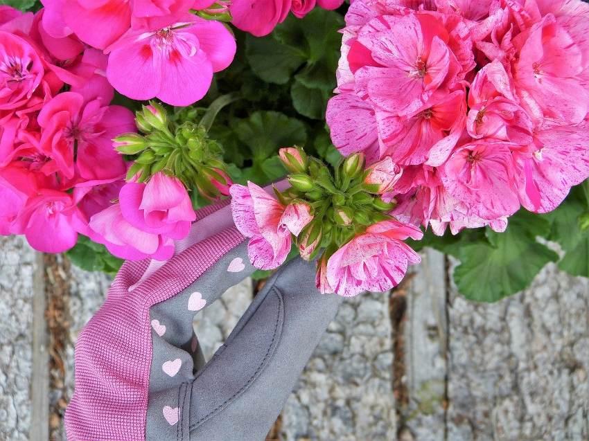 geranium entretien