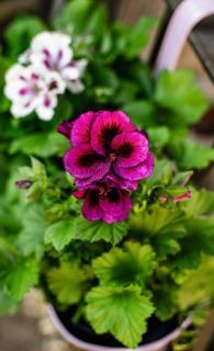 geranium en fleur