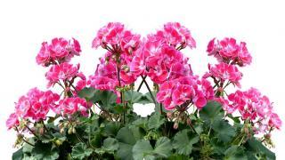 geranium en jardiniere