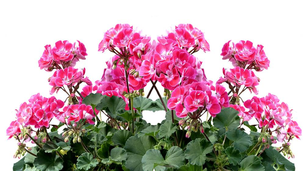 Geranium: maintenance advice for a beautiful flowering