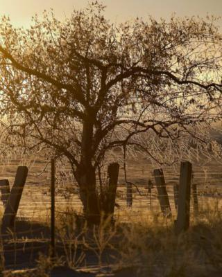 Why olive trees need the cold to bear olives