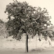 How olive trees react to cold and freezing weather