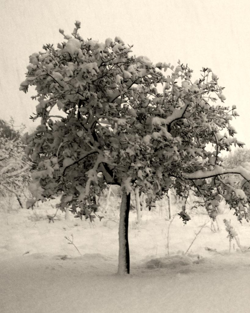 An olive tree freezing with three inches of snow.