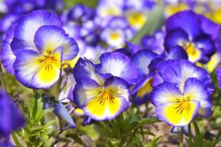 pensee violette fleur hiver