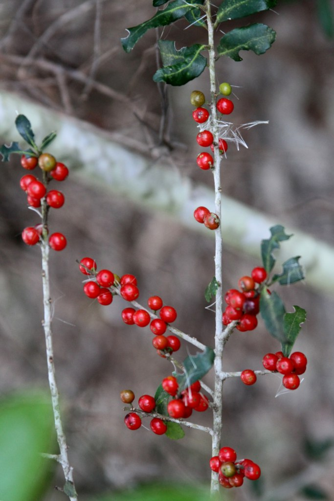 Yaupon holly, bring the grand old South to your garden