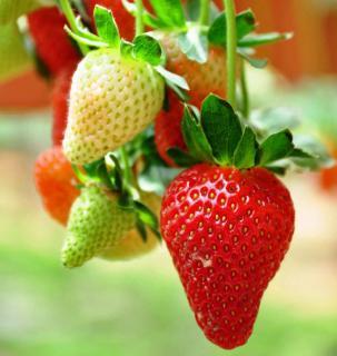 fraisier fraise