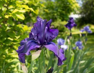 Iris barbus barbata plantation entretien
