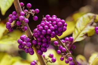 arbuste avec petites boules violettes - Callicarpa