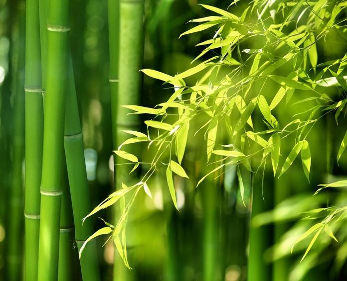 Bambou Plantation Arrosage Et Entretien Des Bambous