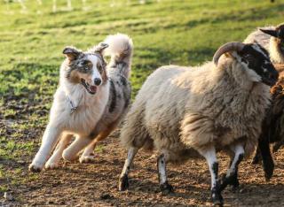 berger australien mouton