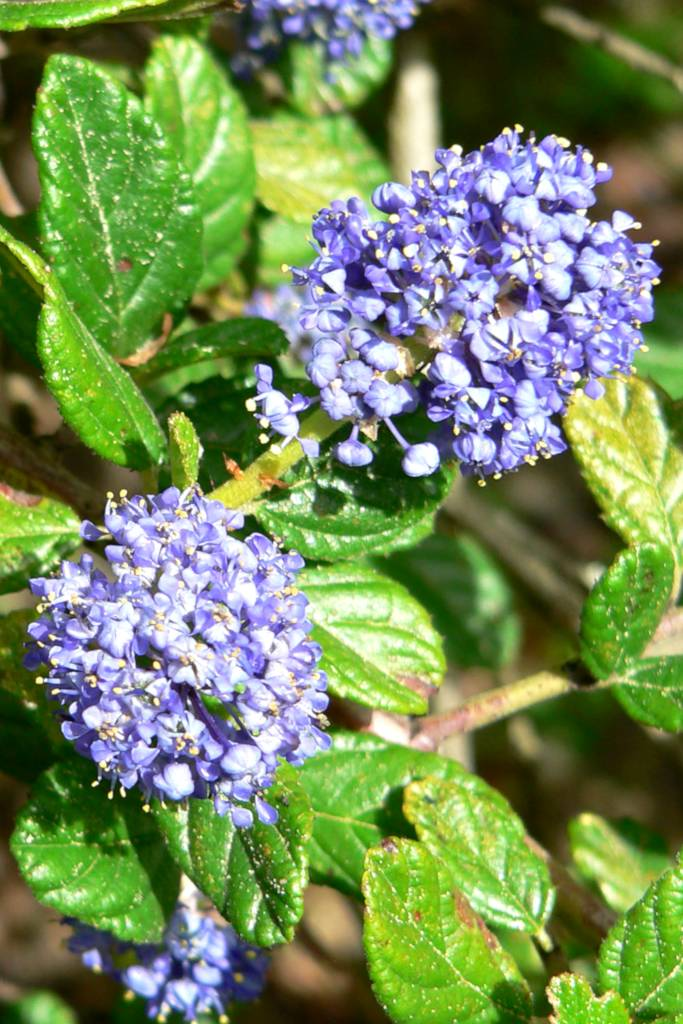 Blue ceanothus flowers on a bush.
