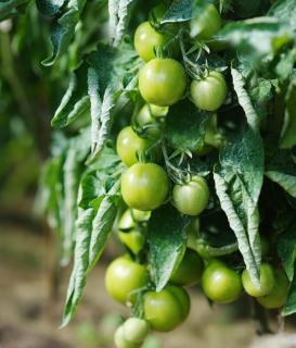 mildiou sur tomate verte