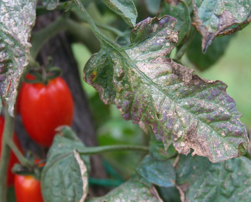 mildiou tomate