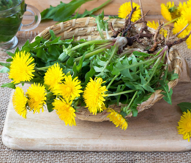 Dandelion: sowing, growing, harvesting and using in cooking