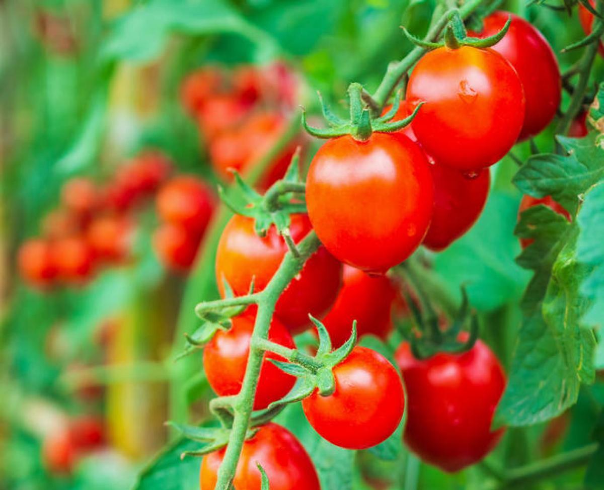 Tomate cerise : culture, entretien et récolte d'été