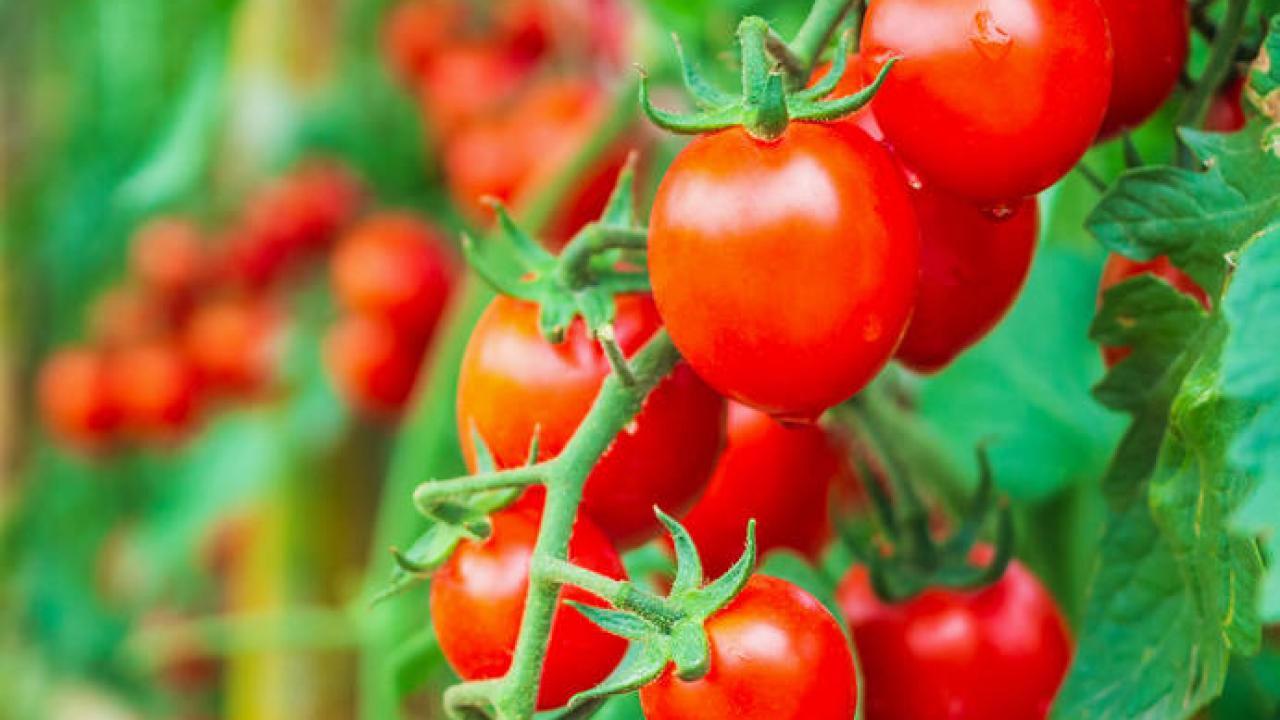 Planter Des Tomates En Pot tomate cerise : culture, entretien et récolte d'été