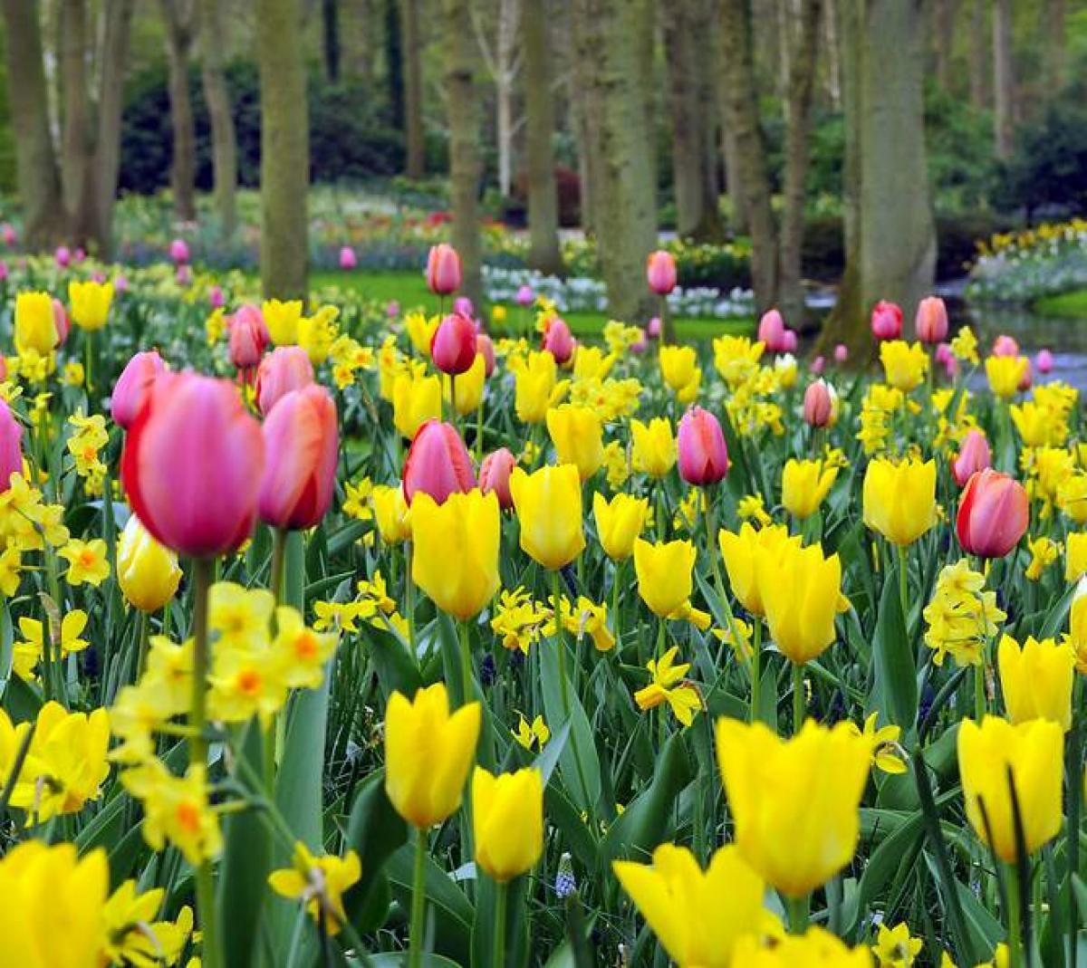Tulipe Plantation Et Entretien Pour Une Belle Floraison