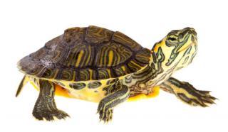 alimentation tortue terrestre