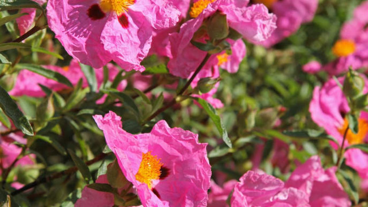 Arbuste Fleuri Feuillage Persistant ciste (cistus) : plantation, taille et conseils d'entretien
