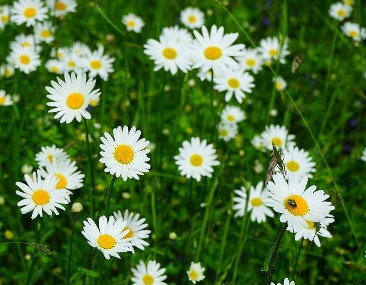 Marguerite Plantation Entretien Et Floraison