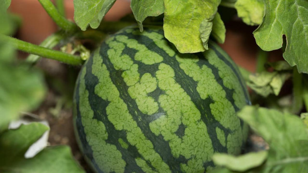 Que Planter En Octobre Sous Serre pastèque : semis, culture et récolte des pastèques