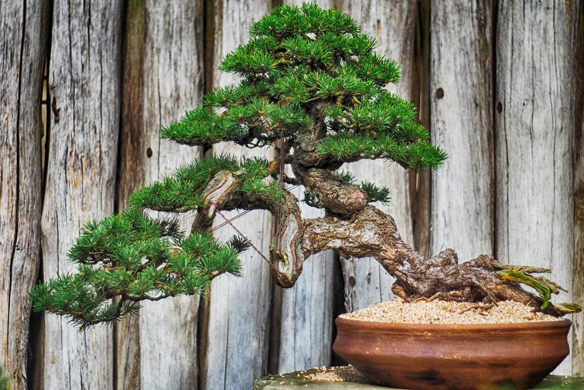 Faire un bonsai conseil debutant