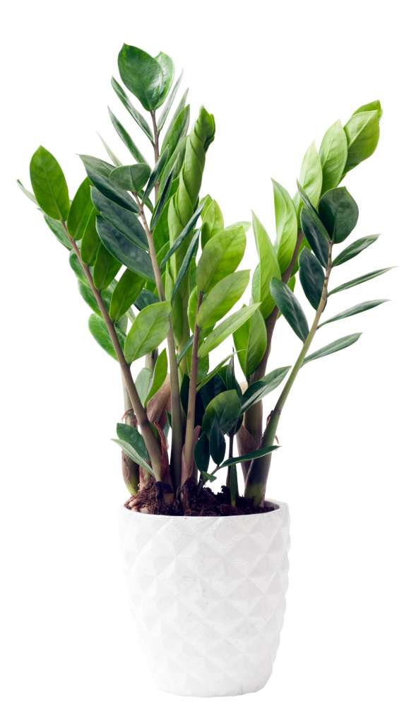 A ZZ plant with a half-dozen fronds in a diamond-patterned white pot.
