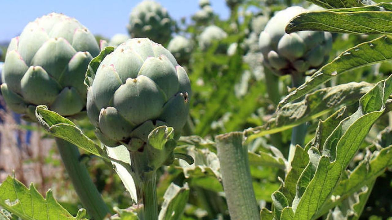 Quel Fruit Planter Au Printemps artichaut : culture, plantation, entretien, récolte