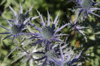 chardon bleu fleur