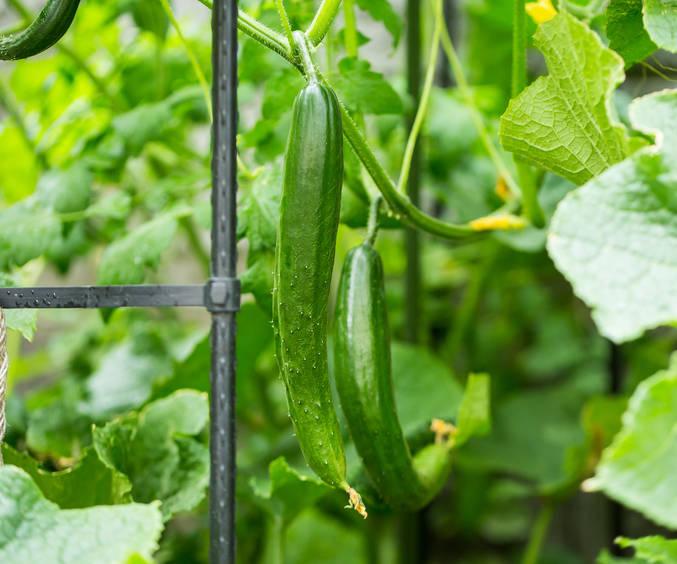 Concombre, cornichons : semis, culture, récolte