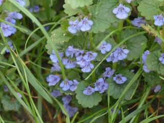 glechoma hederacea - lierre pour remplacer pelouse