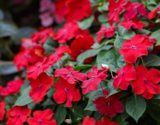 impatiens fleur