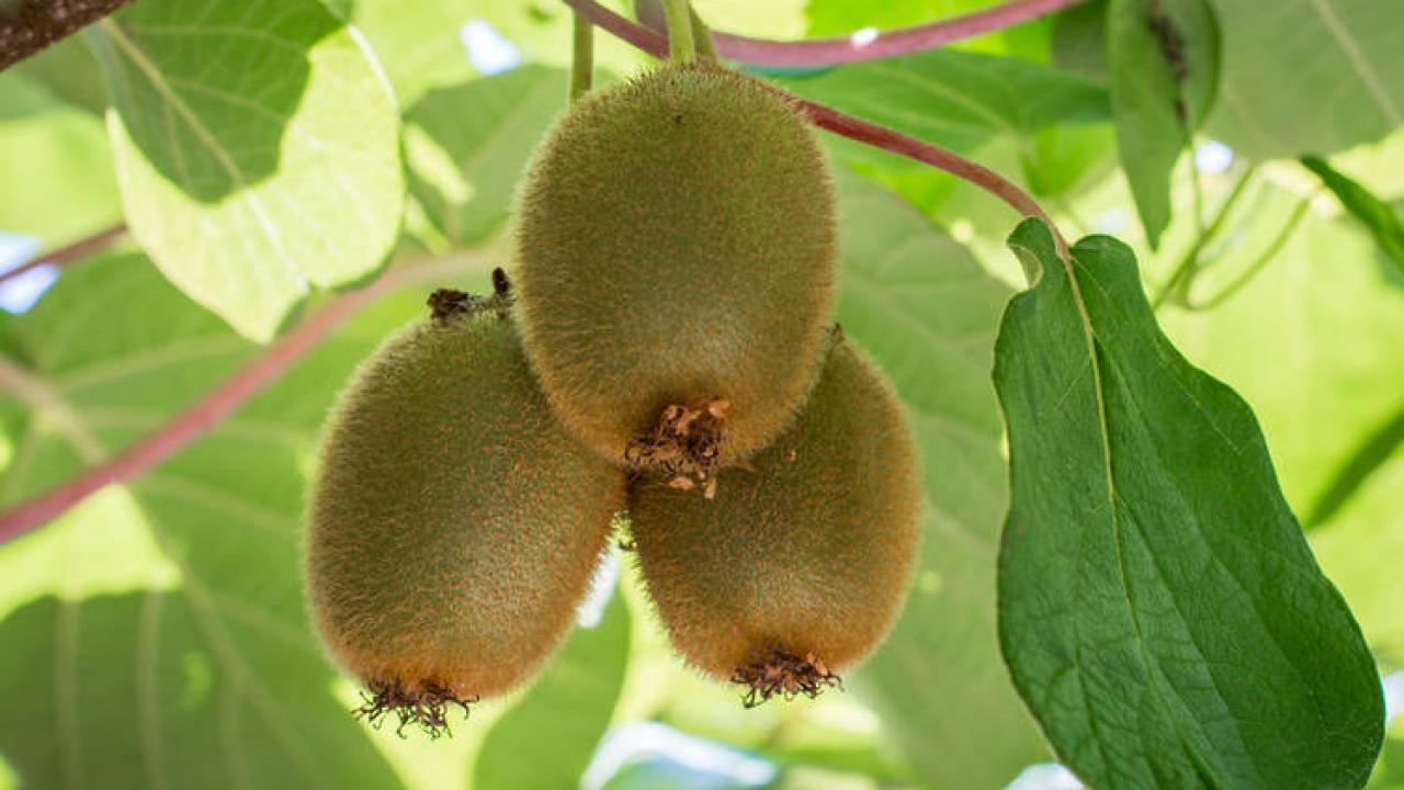 Quel Fruit Planter Au Printemps kiwi : plantation, taille et conseils de culture des kiwis