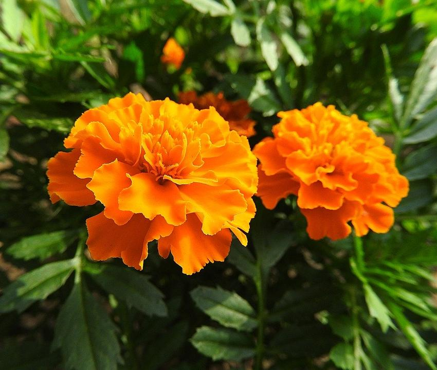 French marigold, always an impact!
