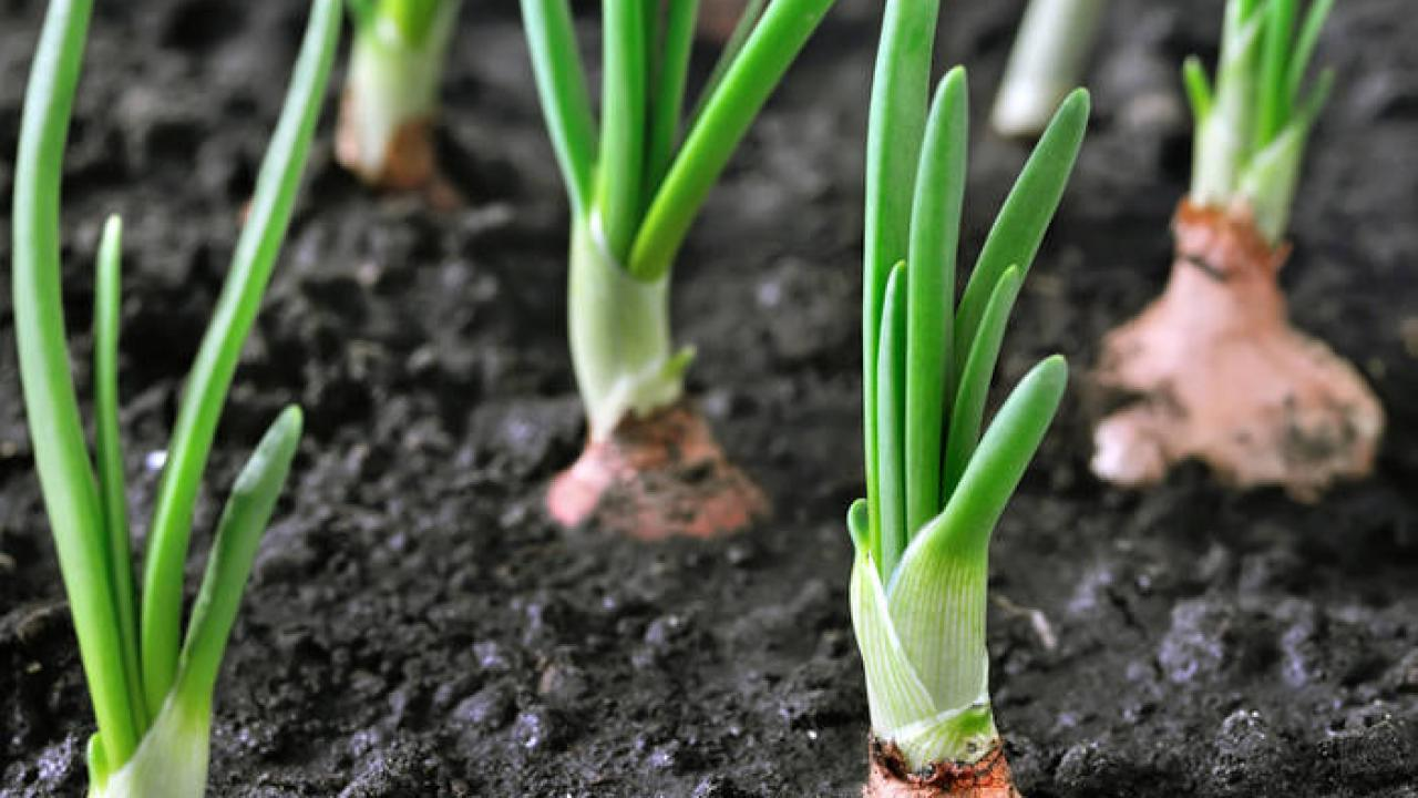 Oignon Blanc A Planter oignon : plantation, semis, culture, récolte (+ vidéo)