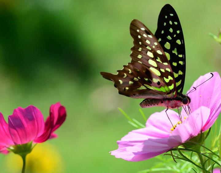 papillon jardin