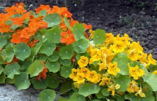 plantes contre pucerons et insectes