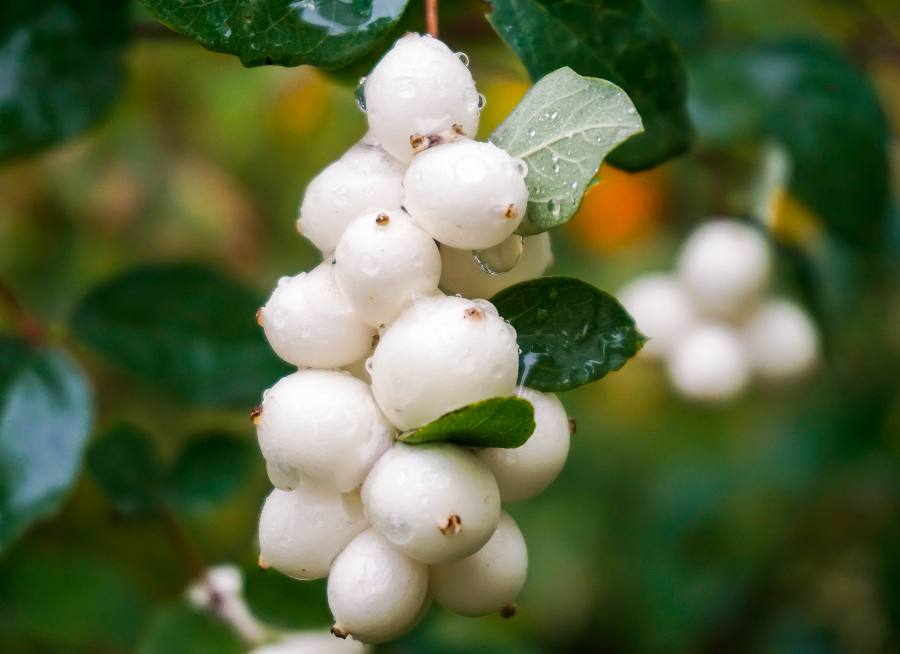 Arbuste a petite boule blanche - Symphorine