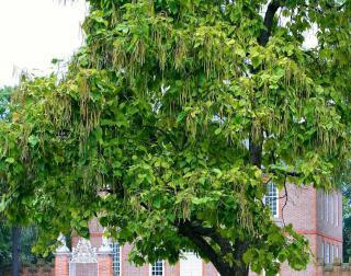 Catalpa arbre plantation