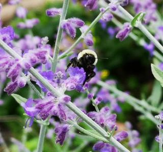 Perovskia en fleur abeille