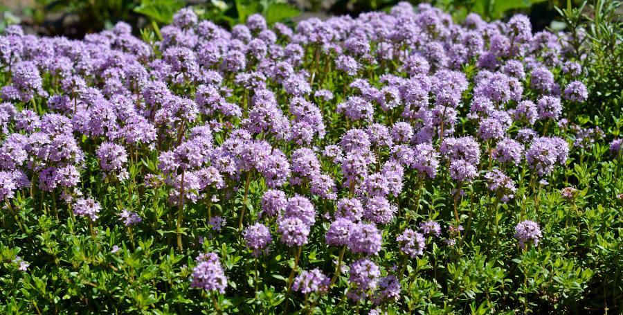Thymus serpyllum - Thym Serpolet