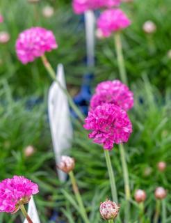 armeria en fleur