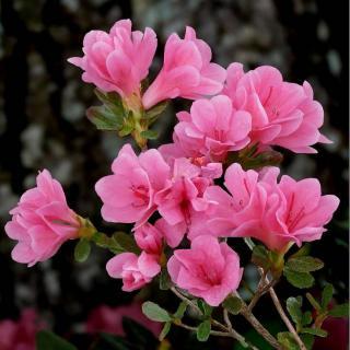 azalea japonica - azalee exterieur