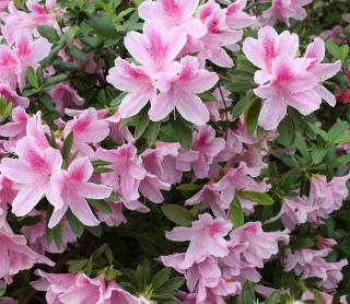 azalee jardin